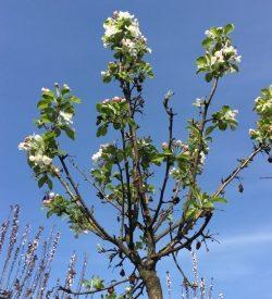 albero di melo da fiore red sentinel