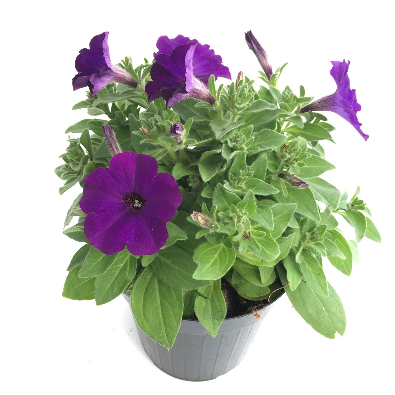 Petunia bingo petunia axillaris ibrida vivai frappetta for Petunie inverno