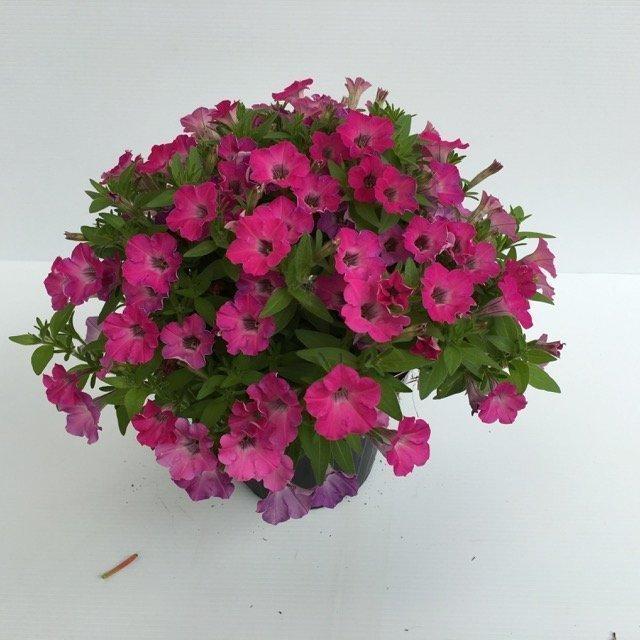 Petunia sanguna petunia axillaris ibrida vivai frappetta for Petunie inverno