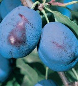 frutti di susino grossa di felisio