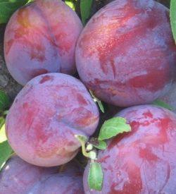 frutti di susino burbank