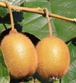 Il Kiwi Jenny è una varietà AUTOFERTILE. Frutti più piccoli (60g) e tondi di Hayward.