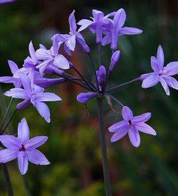 Primo piano dei fiori di Tulbaghia violacea