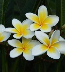 Plumeria rubra - Frangipani Pomelia