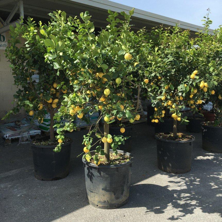 Limoni archivi vivai frappetta for Limoni in vaso