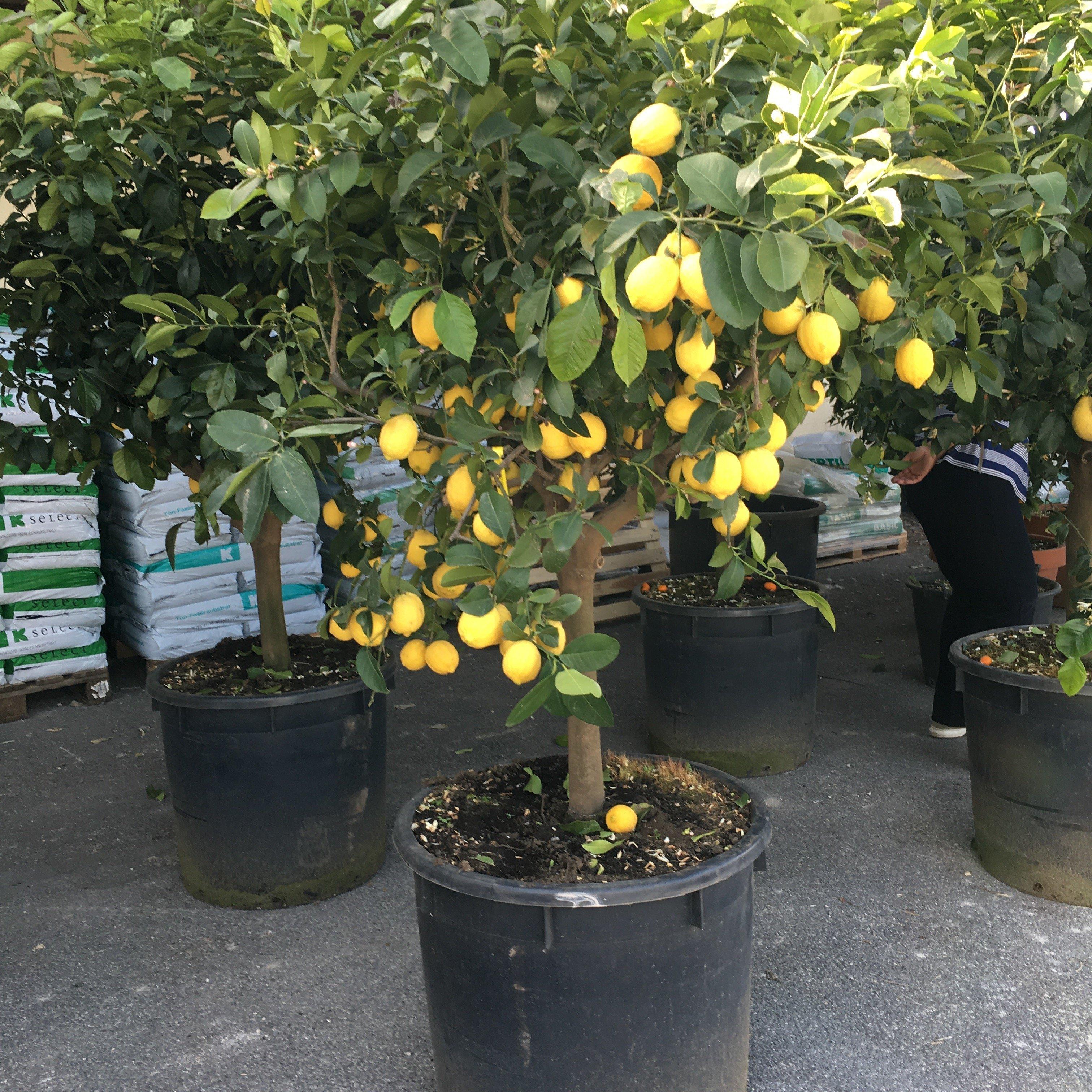 Limone femminello siracusano vivai frappetta for Pianta di limone