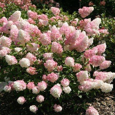 Ortensia paniculata hydrangea paniculata vivai frappetta for Colore ortensia