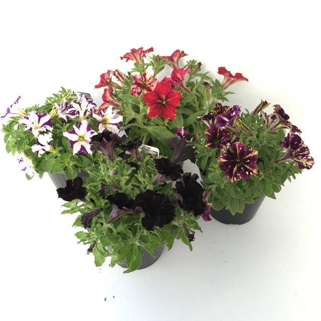 Petunia crazytunia petunia axillaris ibrida vivai frappetta for Petunie perenni