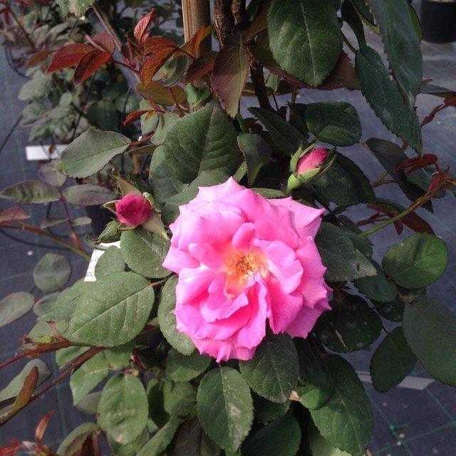 Rosa kathleen harrop vivai frappetta for Serra agricola usata