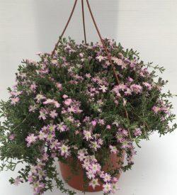 pianta di barba di giove drosanthemum hispidum