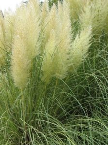 Cortaderia selloana 'Golden Goblin®'