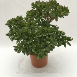 pianta in vaso di crassula portulacea