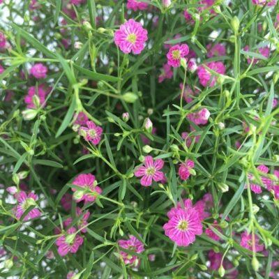 fiori di gypsophila