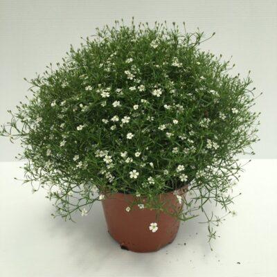 gypsophila a fiori bianchi