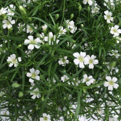 fiori bianchi di gypsophila