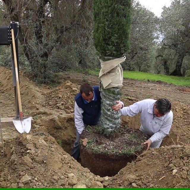 Tecniche di piantumazione alberi cupressus sempervirens for Cipresso in vaso