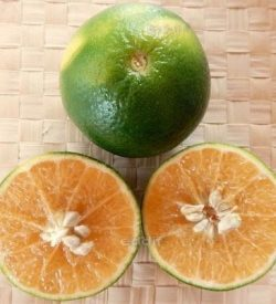 Citrus tangelo MAPO