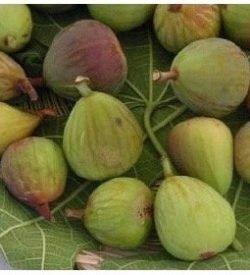 FICO DELLA SIGNORA - Ficus Carica