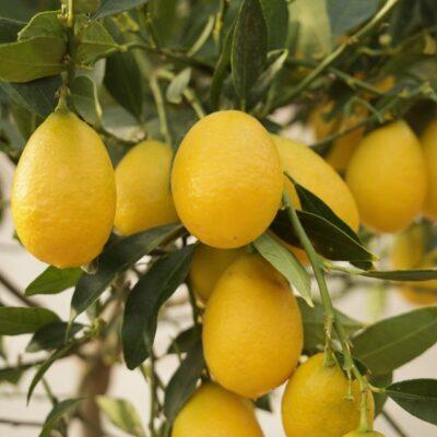 Limonquat