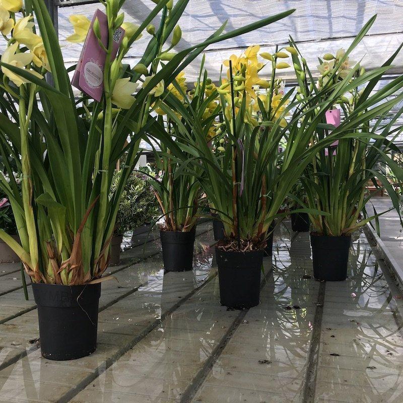 Orchidea cymbidium vivai frappetta - Orchidea da esterno cymbidium ...