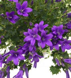 Campanula portenschlagiana - fiore