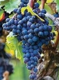 Da tavola archivi vivai frappetta - Vivai uva da tavola ...