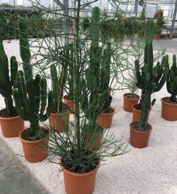 Euphorbia tirucalli (in secondo piano Euphorbia tetra)
