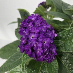 Heliotropium arborescens FIOR DI VANIGLIA - fiore