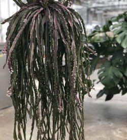 Rhipsalis cruciformis - pianta in basket