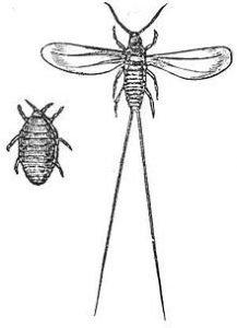 Cocciniglia femmina e maschio