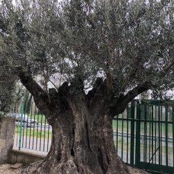 Olivi secolari