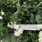 Solanum Jasminoides con codice QR