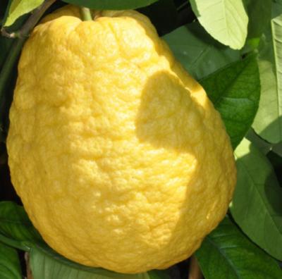 Cedro Gigante - frutto