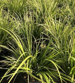 Carex morrowii 'Ice Dance'