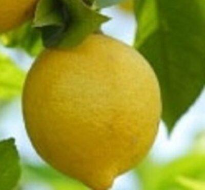 Limone Ovale di Sorrento